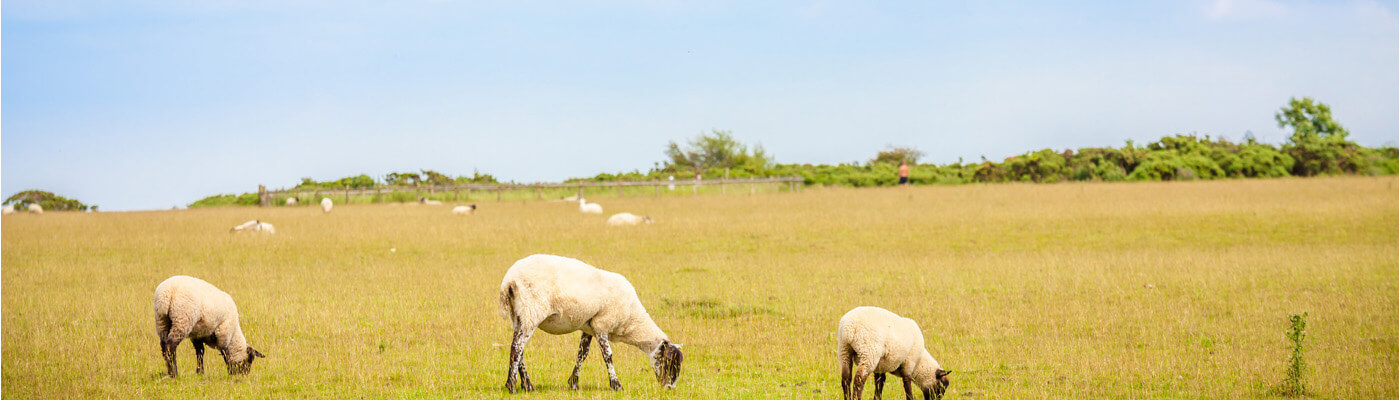 cotswold sheep 1400x400