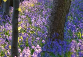 The Bluebell wood – public good – private property – pay per view