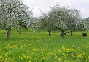 A traditional orchard in blossom in Germany (Picture by Buechele/Dagenbeck )