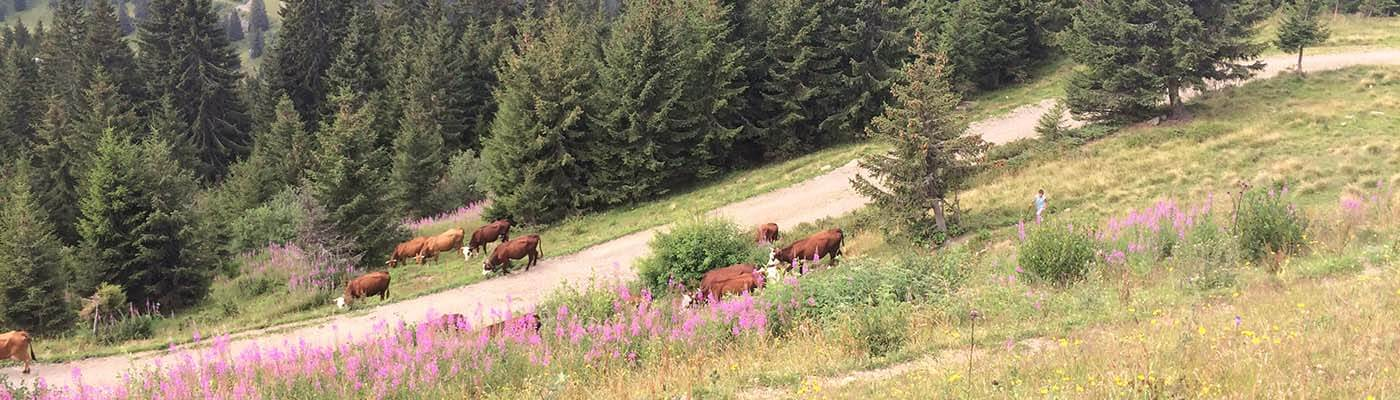 Abondance cows being herded back to the Alpine pastures after milking